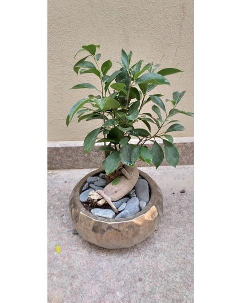 Bonsai - Ficus Benjamina 45 CM Height