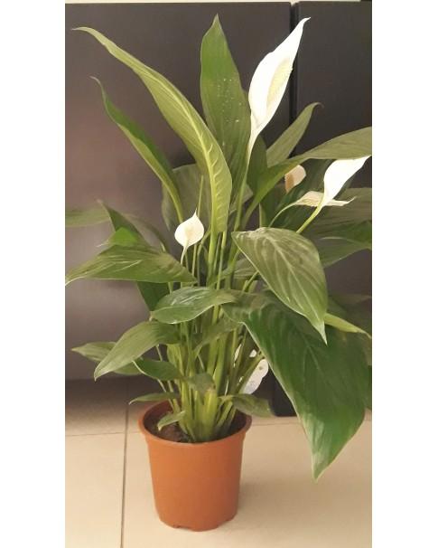 Spathiphyllum 30 CM
