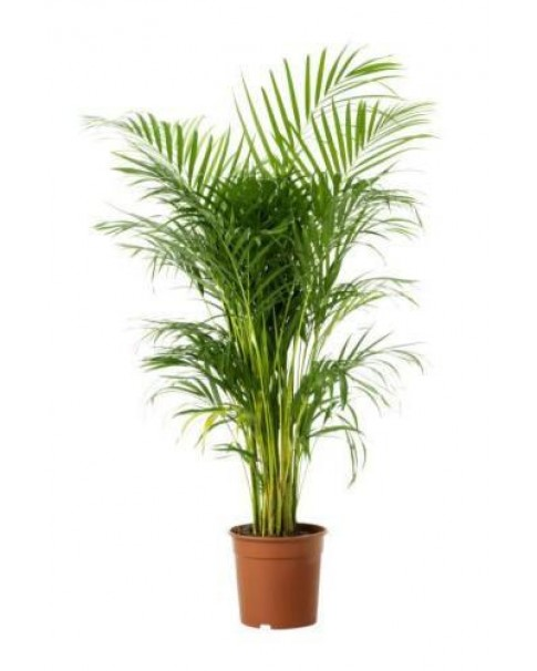 Areca 100 CM Height