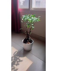 Ficus Nitida Bonsai 60 CM Height in white / grey pot