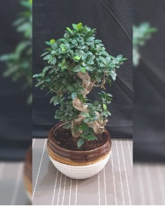 Ficus bonsai S Shape in Ceramic Pot