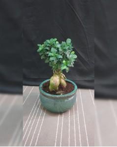 Ficus bonsai in Ceramic Pot