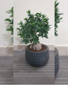 Ficus Bonsai Potted - 60 CM Total Height