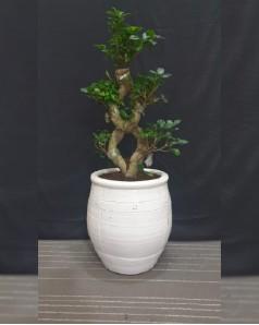 Ficus Bonsai X Shape Potted