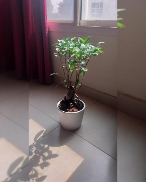 Ficus Nitida Bonsai 60 CM Height in white / grey pot