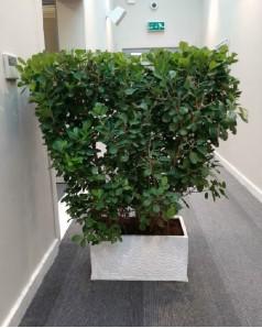 Ficus Panda shaped in rectangle pot