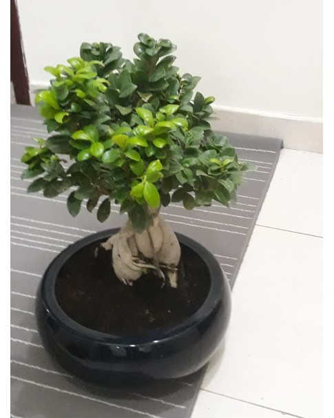 Ficus microcarpa bonsai tree With Assorted Pot