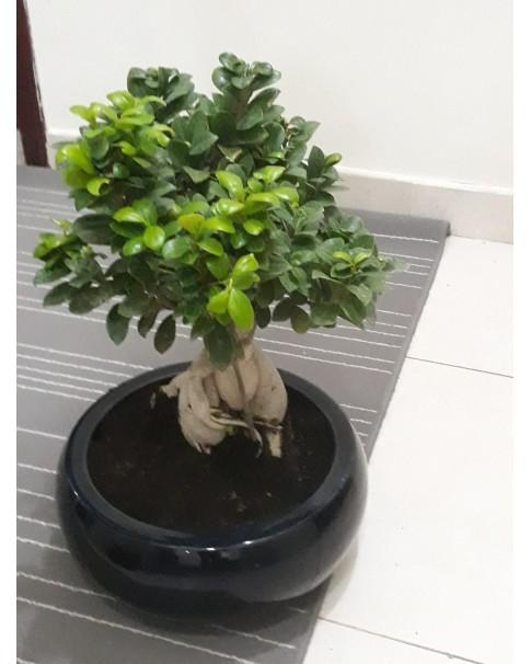 Ficus microcarpa bonsai tree