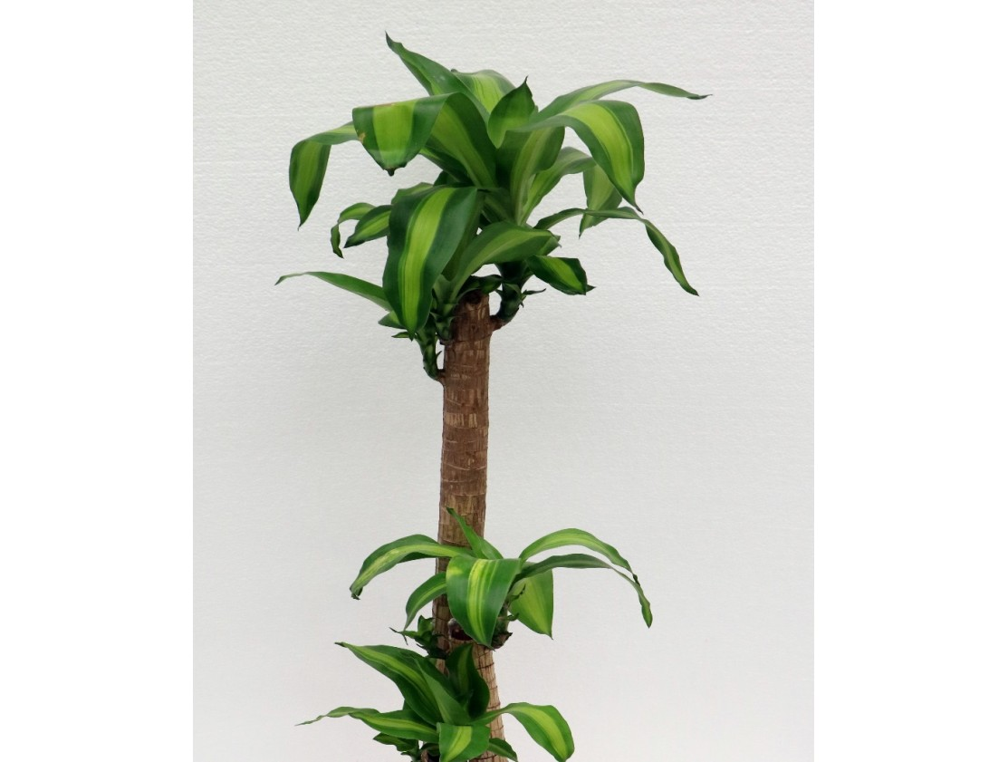 PLANTS CARE - DRACAENA MASSANGEANA