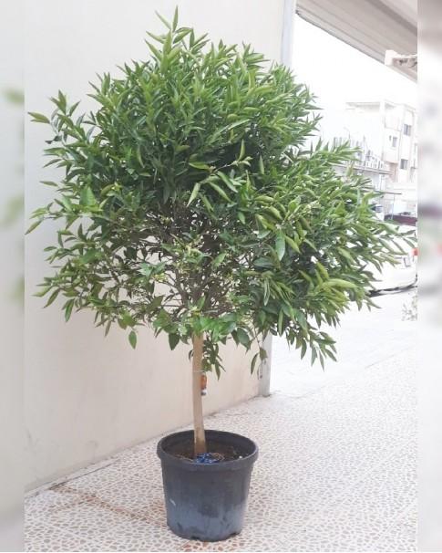 Orange tree 1.5 meter height