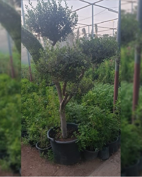 Olive Tree Branched