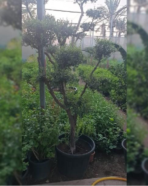 Olive Tree Multi Headed