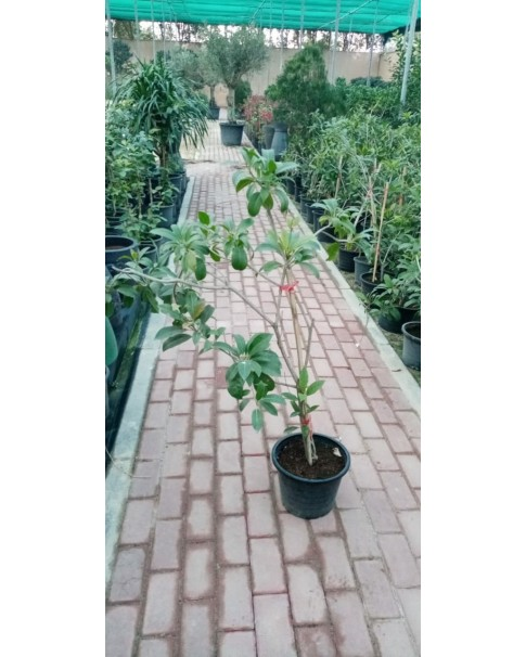 Chikoo Tree ( Zapota )