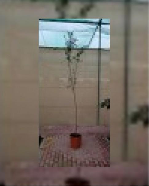 Punica grantum 2 - 2.5 m ht