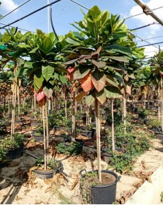 Almond tree  2.5m ht and 25-30 mm trunk Dia