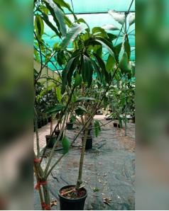 Mango tree with mango