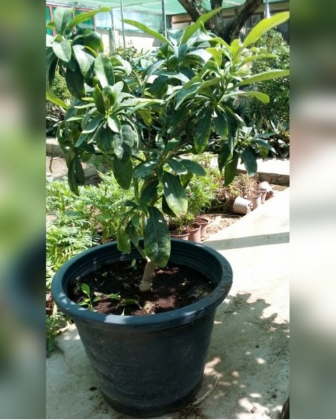 Lemon tree (dwarf)