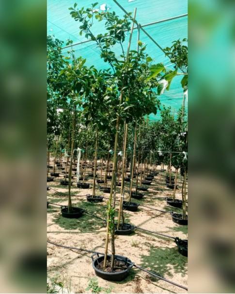 Lemon Tree 2.5 meter height