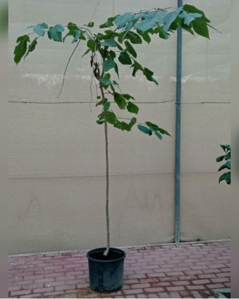 Mulberry (Morus Alba) - 2.5 m ht