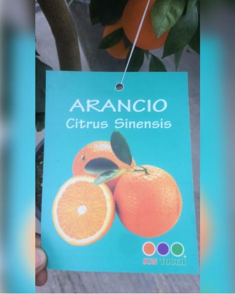 Orange Tree 180 CM Height