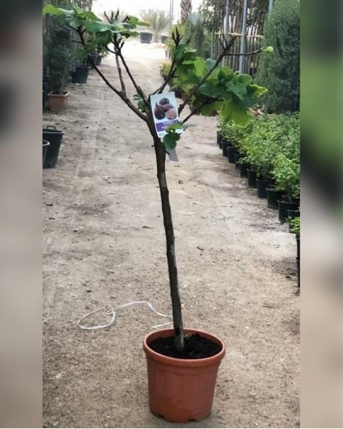 Ficus Carica Tree 1.5 - 1.8 m ht