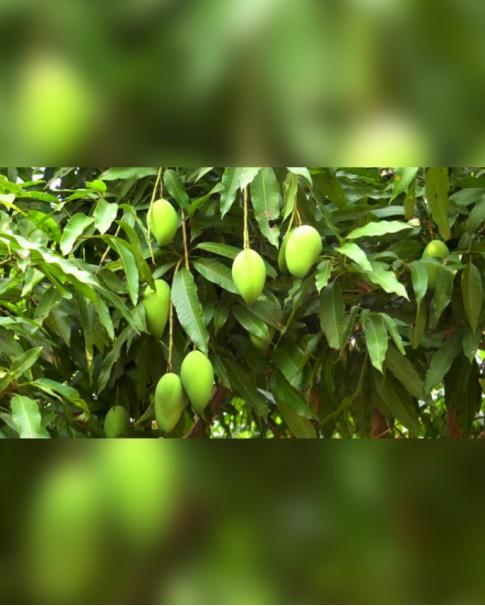 Mango Tree 1.8 Mtr Ht (Mangifera)
