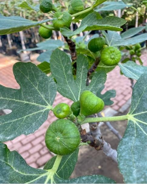 Ficus carica ( fig tree )