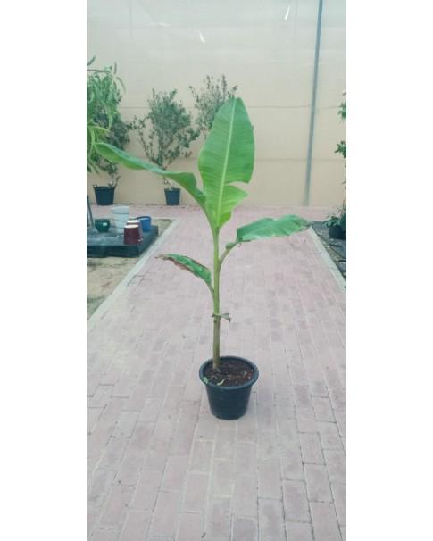 Banana plant (Indian)
