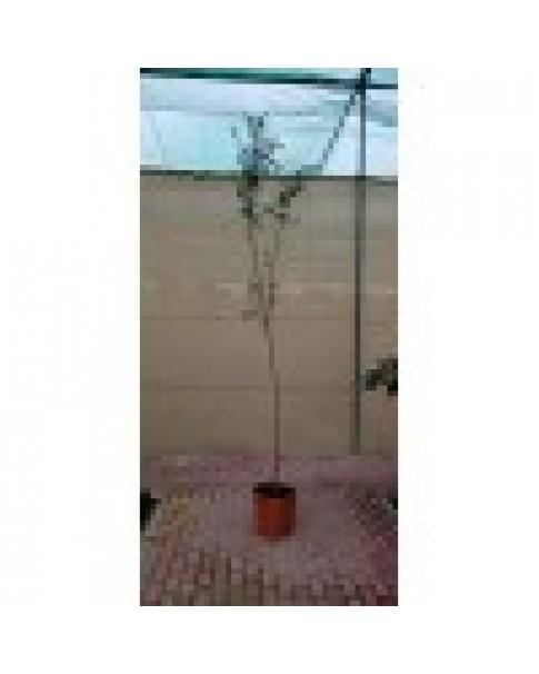 Punica grantum 1 - 1.2 m ht