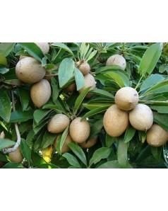 Supota ( Chiku) 1.5 to 1.8 Mtr Ht