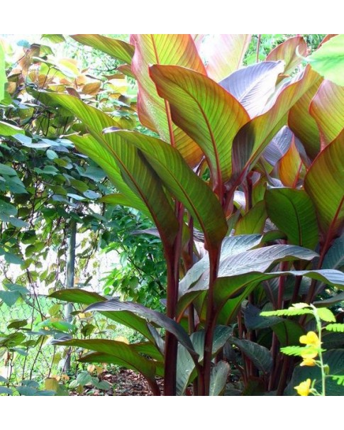 Canna Indica Red Leaf