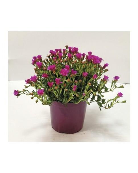 Lampranthus Spectabilis - Mix Colour