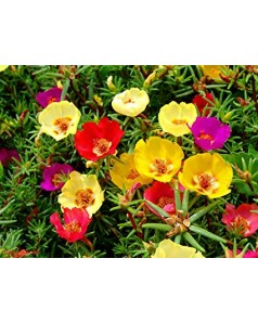 Portulaca Grandiflora 1 Box = 25 Pcs - Mix Colour