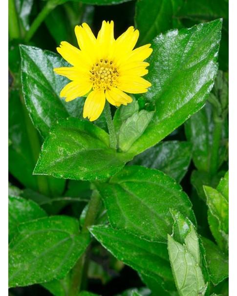 Wedelia Trilobata - 12 Pcs Box = QR 60
