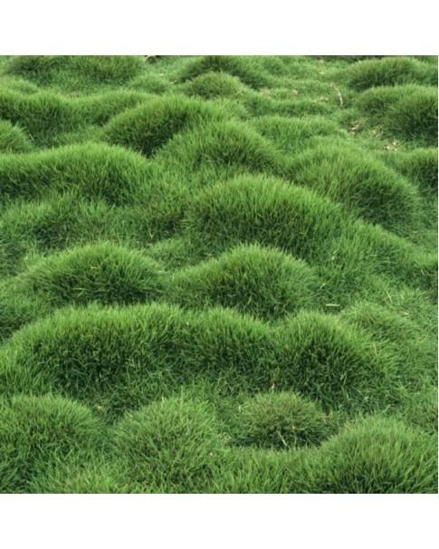 Zoysia Grass (10 - 12 CM Spread in 10 CM Pot)