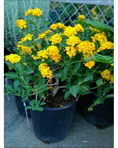 Lantana Yellow - Small - 9 CM pot