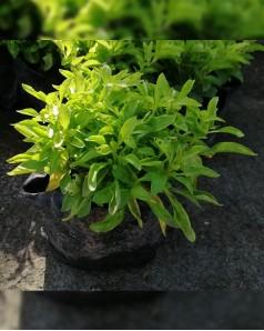 Alternanthera Green