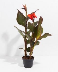 Canna Indica Red Leaf
