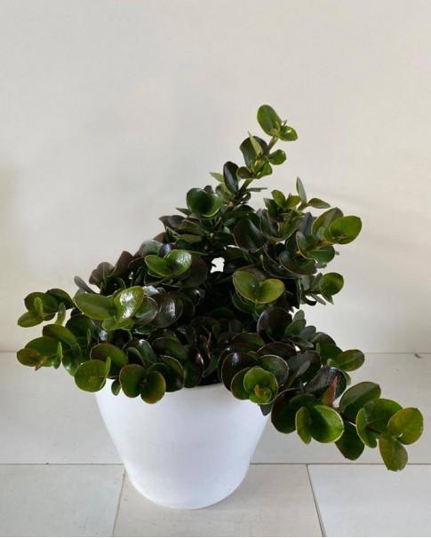 Carissa macrocarpa (20 - 25cm Height in 10cm Pot)