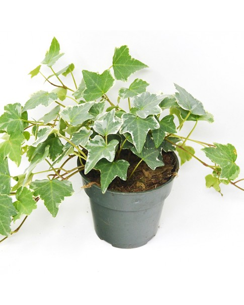 Hedera Helix Variegated