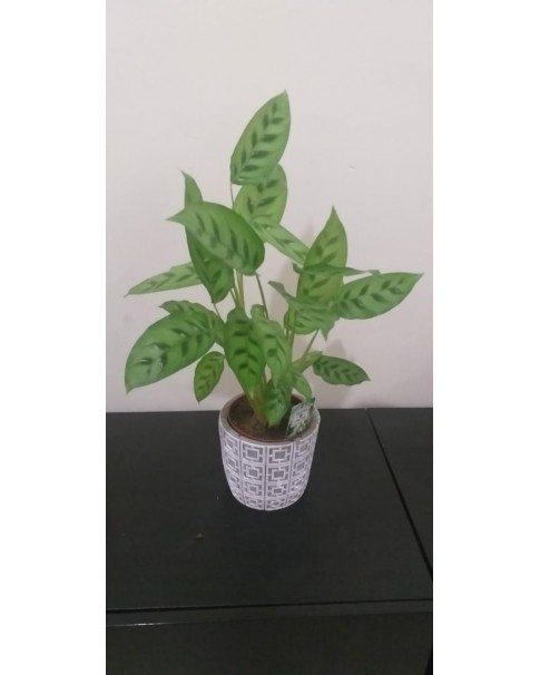 Calathea potted 50 cm Height