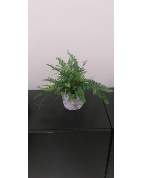 Fern Potted. 30 cm Height. Assorted Pot