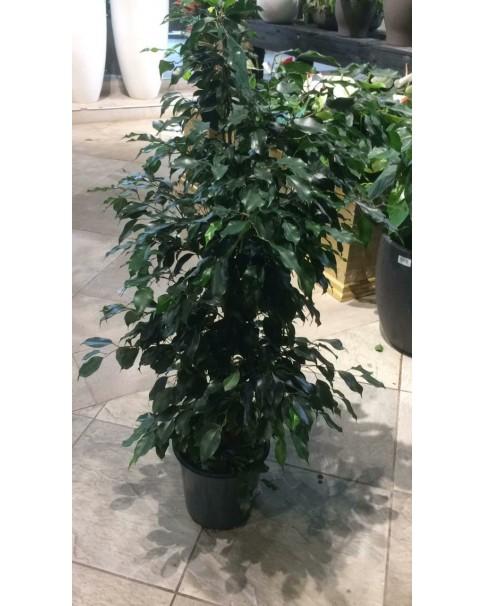 Ficus Benjamina 110cm