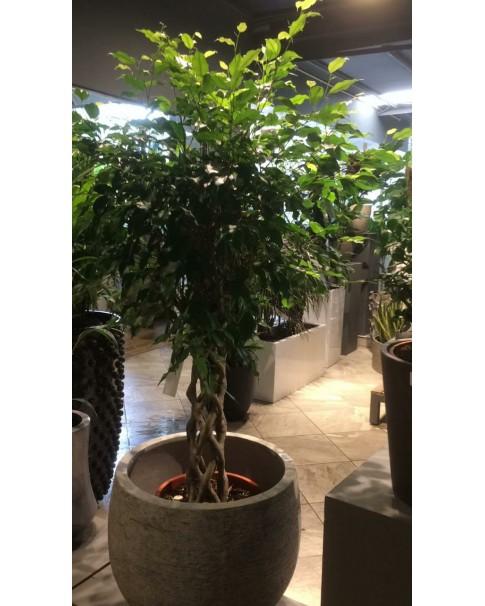 Ficus Benjamina 140cm