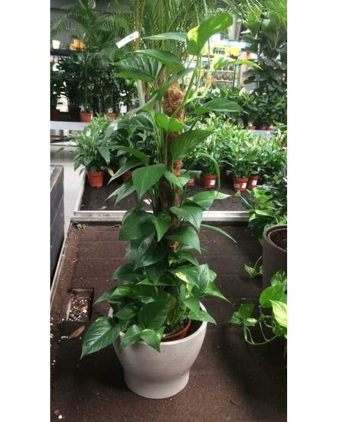 Money plant 80cm with pot
