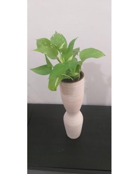 Money Plant in Narrow Clay Pot