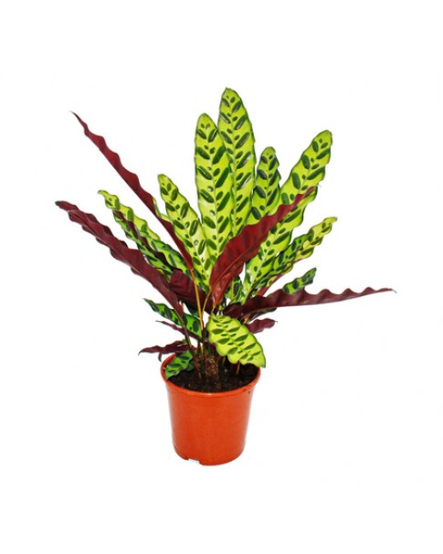 Calathea Lancifolia 30cm