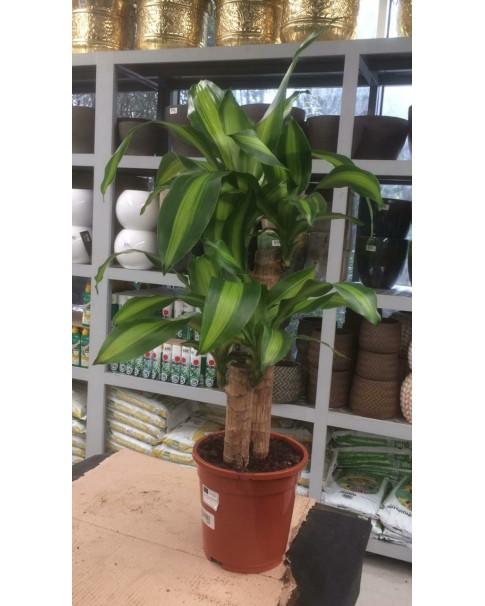 Dracaena fragrans (fortune plant) 50 TO 60 cm Ht
