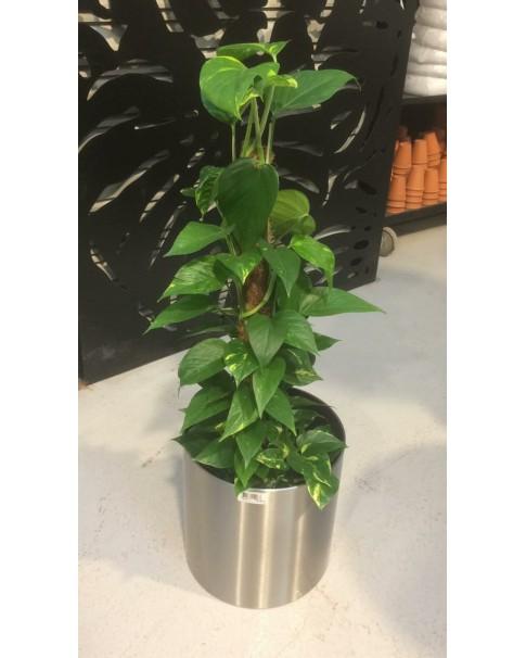Money plant in steel pot - 110 CM Total Height