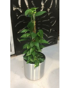 Money plant with steel pot